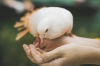 Tauben, Geflügel & Vögel