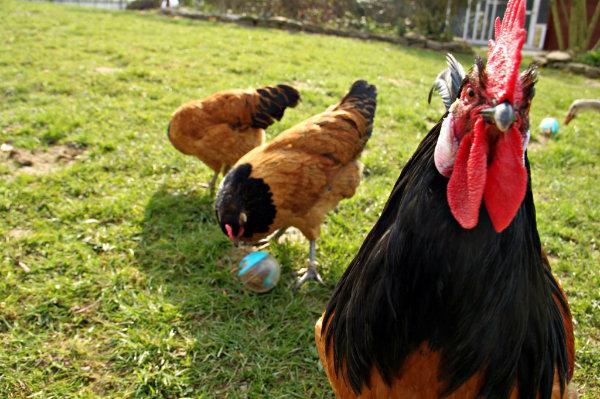 Qualitativ hochwertiges Hühnerfutter für Home Farming