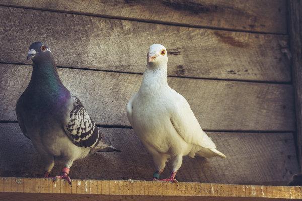 Hochwertiges Taubenfutter für die Taubenzucht