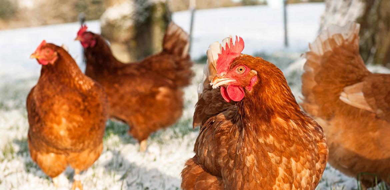 Hilfe, meine Hühner legen nicht!!!